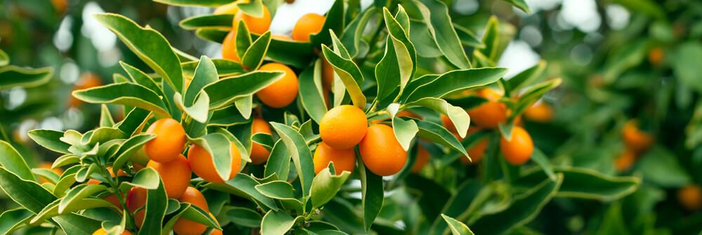 Papier Peint Panoramique fruit