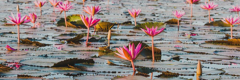Lotus Papier peint