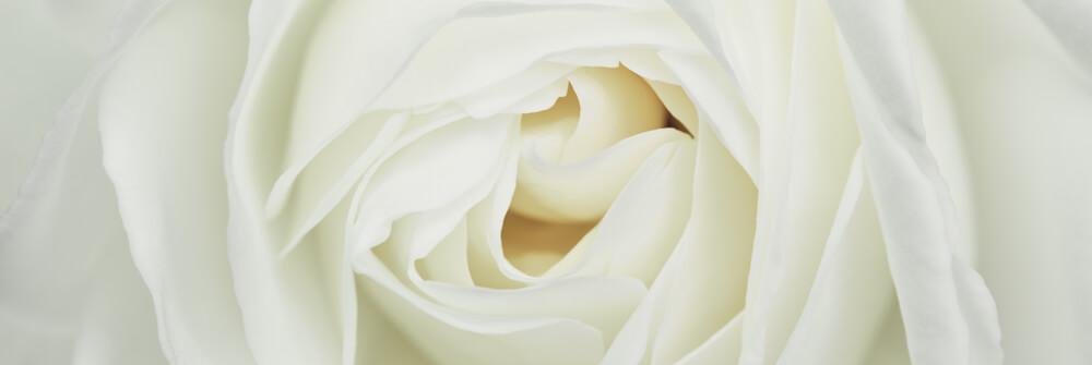 Roses papier peint