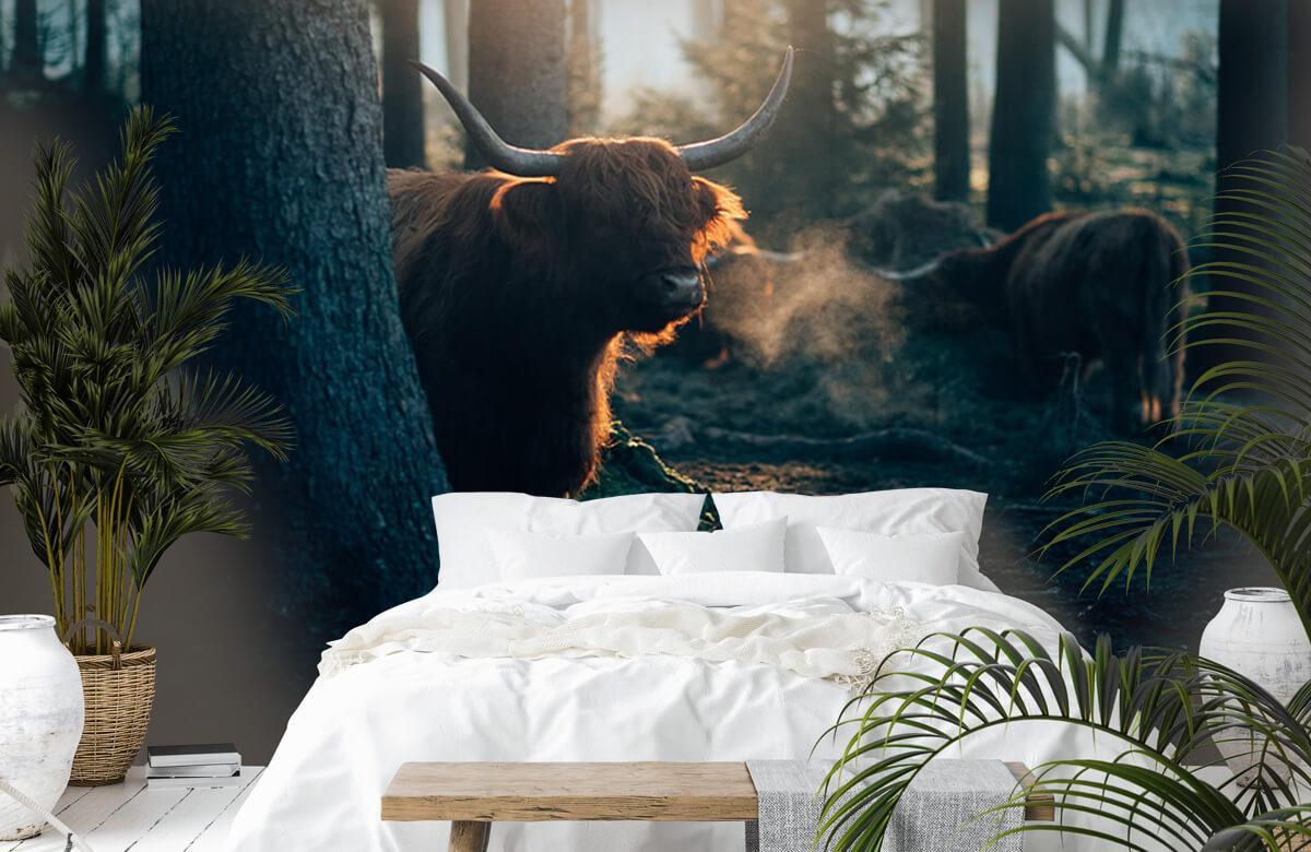 Wallpaper Le Highlander écossais dans la lumière du matin 4